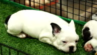 Cute french bulldog pups sleeping inside a cage video