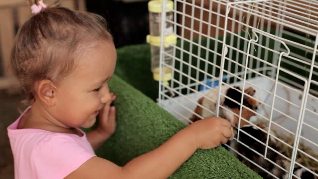 Cute girl giving guinea pigs an apple for feed. video