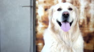 cute golden retriever dog is looking at camera. video
