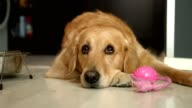 Cute golden retriever dog laying on the floor and looking up to it's owner video