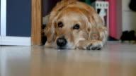 Cute golden retriever dog sleeping on the floor video