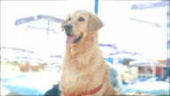 Cute golden retriever dog standing on the beach looking at the sea video