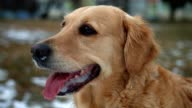 Cute golden retriever dog standing still and looking around outdoors video