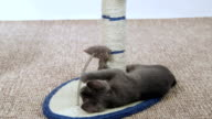 Cute grey kitten playing with mouse toy attached to scratching post video