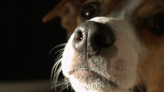Cute Jack Russell Terrier video