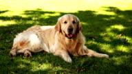 Cute labrador lying on the grass video