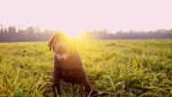 SLO MO Cute labrador puppy in grass video