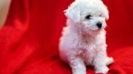 Cute little Bichon puppy video