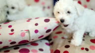 Cute little Bichon puppys playing video