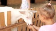 Cute little girl feeding a goat at farm. video