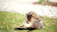 cute little kitten (cat) cleaning (grooming) itself video