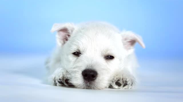 HD: Cute Little White Puppy Sleeping video