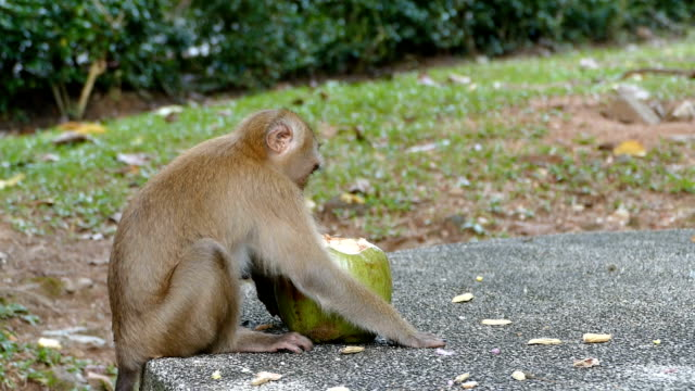 cute monkey eating coconut in the park video