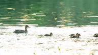 Cute mother duck with a flock of ducklings in pond video