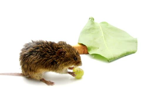 PAL: Cute Mouse video