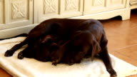 cute nursing brown labrador puppies with her mother video