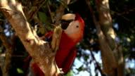 Cute Parrot Ara video