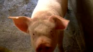Cute pig grunting and looking in the camera video