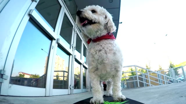 Cute poodle skateboarding video
