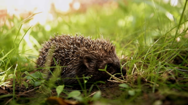 Cute prickly hedgehog in the grass video