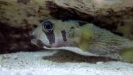 Cute Puffer Fish video