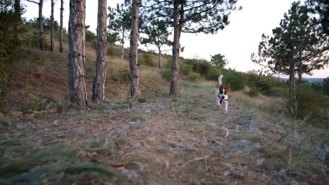 Cute puppy dog Jack Russell running at nature, slow motion video