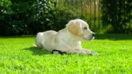 Cute Puppy in the Garden video