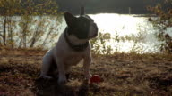 Cute puppy with toy outdoors video