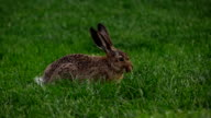 Cute rabbit with long ears eat grass on meadow, sweet sniffing nose video