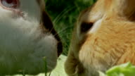 Cute rabbits eating cabbage video