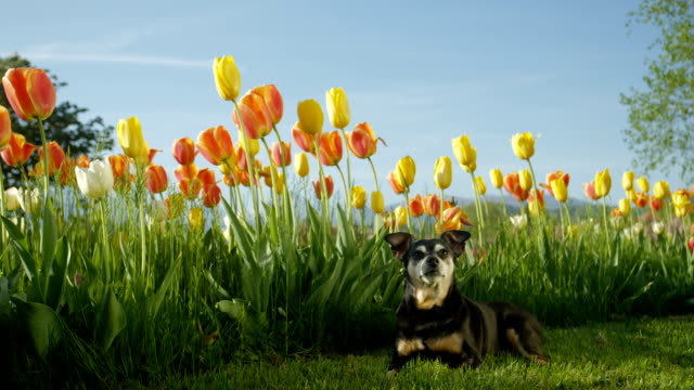 SLOW MOTION: Cute senior dog lying on mowed meadow next to tall blooming tulips video