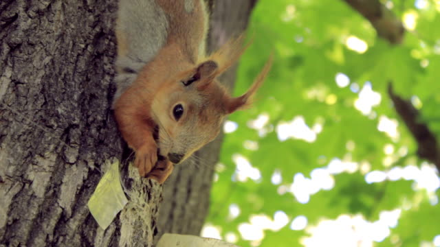 Cute squirrel eating a nut climbing the tree video