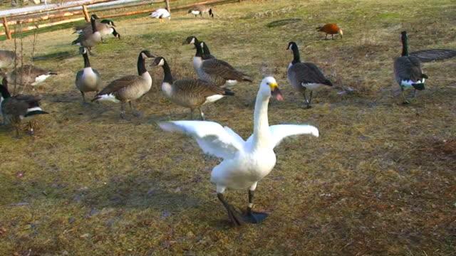 Cute swan flapping wings video