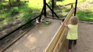 Cute toddler girl enjoy guinea pig animals in zoo cage video