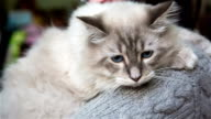 Cute White Cat With Blue Eyes video