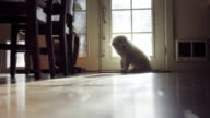 Cute White haired puppy sits and waits by door video