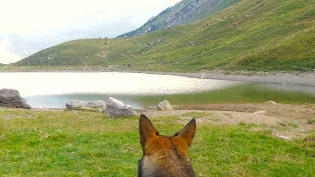 Cute Wolf Dog Looking at the Sky in Mountain Landscape video