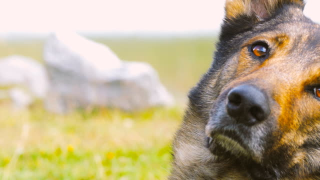 Cute Wolf Dog Moving Head Towards Camera in a Mountain Landscape video