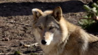 Cute wolf female with bitten ear off, lying on the ground and attentively looking around. video