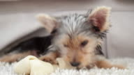 Cute yorkshire terrier puppy chewing on a bone video