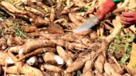 Cutting Cassava root video
