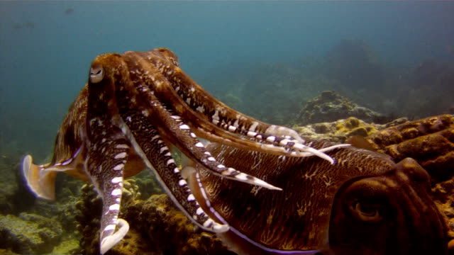 Cuttlefish (Sepia) Pair Laying Eggs. The Art of Cephalopod Camouflage. Location is the Andaman Sea, Krabi, Thailand. This is a classic display of primal instinctive animal behavior, which ensures their survival. video