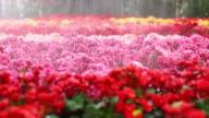 Cyclamen flower video
