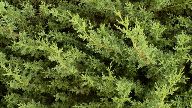 Cypress close up video