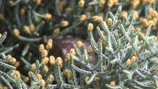 Cypress flowers video