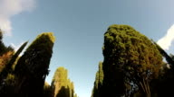Cypress trees from below video