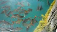 Cyprinidae in green water video