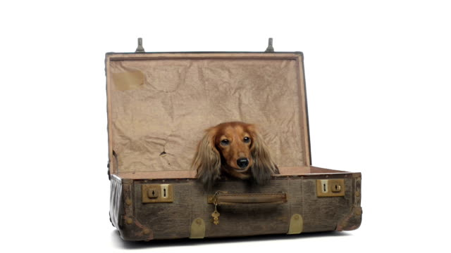 Dachshund lying in an old suitcase video
