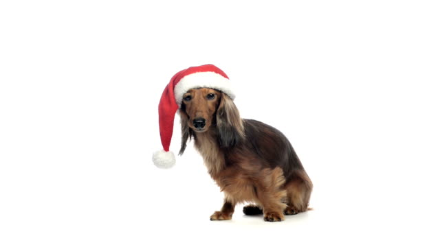 Dachshund sitting and wearing a Santa hat video
