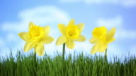 Daffodil flowers in grass with moving clouds video